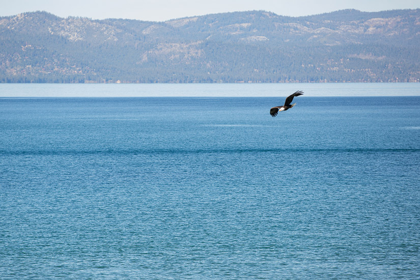 lake tahoe bald eagle