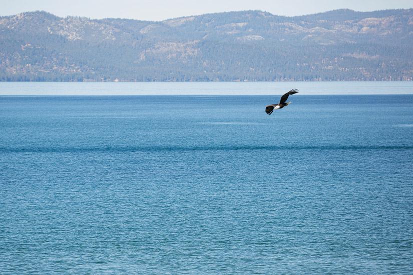lake tahoe bald eagle