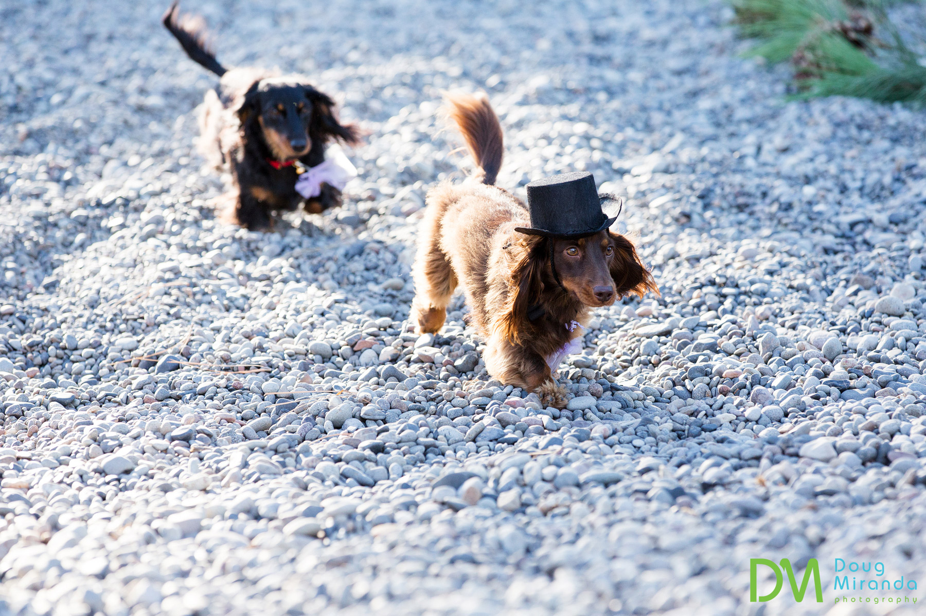 ring bearer dog photos